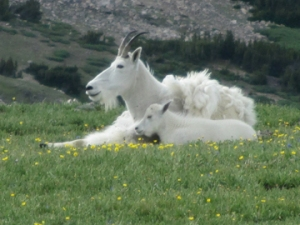 Mountain Goat with young on the Beartooth Plateau, Montana